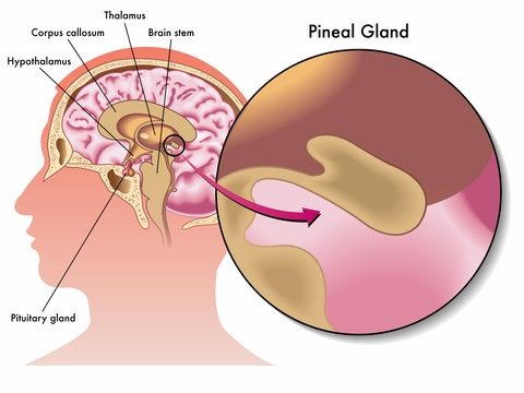The Hypothalamus, Pituitary and Pineal Glands
